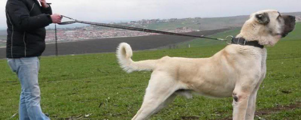 Yurtdışı yasaklı Kangal ve Van Kedisi, Kanada'da Çiftliklerde Üretilip Satılıyor